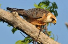 Кобчик птица. Описание, особенности и среда обитания птицы кобчика