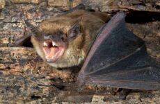 Летучая мышь животное. Описание, особенности, виды и среда обитания летучей мыши
