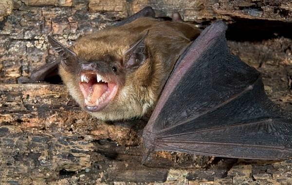 Летучая-мышь-животное-Описание-особенности-виды-и-среда-обитания-летучей-мыши-1