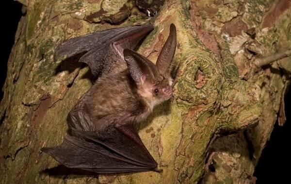 Летучая-мышь-животное-Описание-особенности-виды-и-среда-обитания-летучей-мыши-12