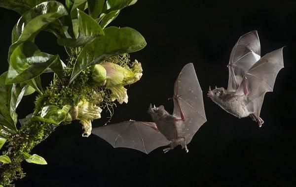 Летучая-мышь-животное-Описание-особенности-виды-и-среда-обитания-летучей-мыши-16