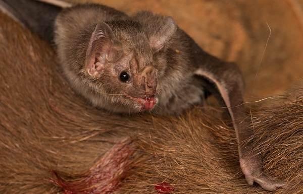 Летучая-мышь-животное-Описание-особенности-виды-и-среда-обитания-летучей-мыши-18