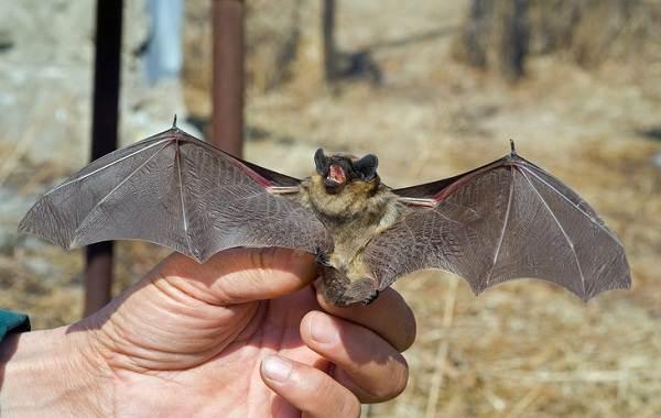 Летучая-мышь-животное-Описание-особенности-виды-и-среда-обитания-летучей-мыши-2