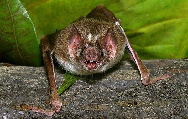 Летучая-мышь-животное-Описание-особенности-виды-и-среда-обитания-летучей-мыши-20