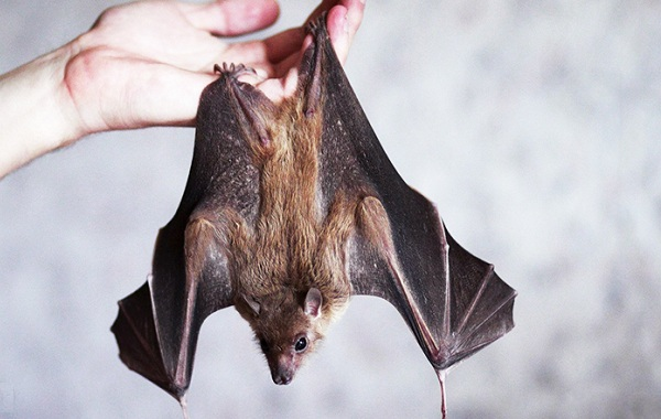 Летучая-мышь-животное-Описание-особенности-виды-и-среда-обитания-летучей-мыши-21