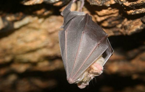 Летучая-мышь-животное-Описание-особенности-виды-и-среда-обитания-летучей-мыши-3
