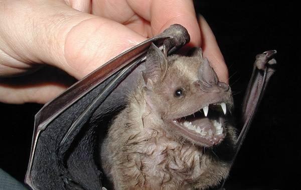 Летучая-мышь-животное-Описание-особенности-виды-и-среда-обитания-летучей-мыши-4