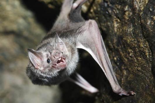 Летучая-мышь-животное-Описание-особенности-виды-и-среда-обитания-летучей-мыши-5