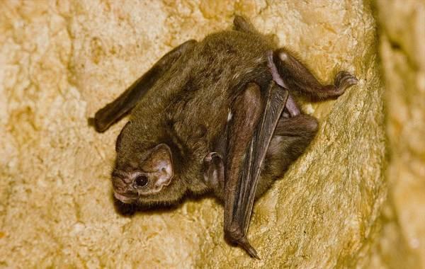 Летучая-мышь-животное-Описание-особенности-виды-и-среда-обитания-летучей-мыши-6