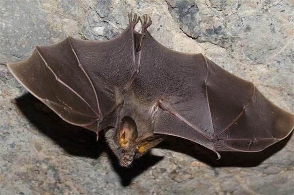 Летучая-мышь-животное-Описание-особенности-виды-и-среда-обитания-летучей-мыши-8
