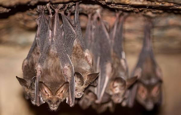 Летучая-мышь-животное-Описание-особенности-виды-и-среда-обитания-летучей-мыши-9
