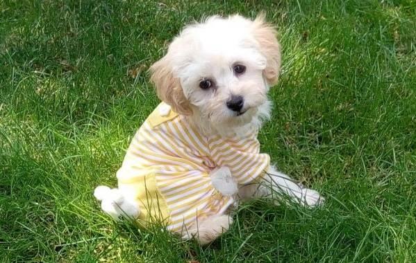 Мальтипу-собака-Описание-особенности-цена-и-уход-за-породой-мальтипу-11