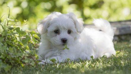 Мальтипу собака. Описание, особенности, цена и уход за породой мальтипу
