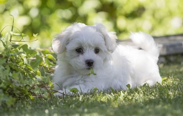Мальтипу-собака-Описание-особенности-цена-и-уход-за-породой-мальтипу-12