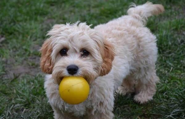 Мальтипу-собака-Описание-особенности-цена-и-уход-за-породой-мальтипу-14