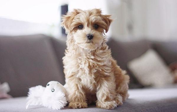 Мальтипу-собака-Описание-особенности-цена-и-уход-за-породой-мальтипу-15