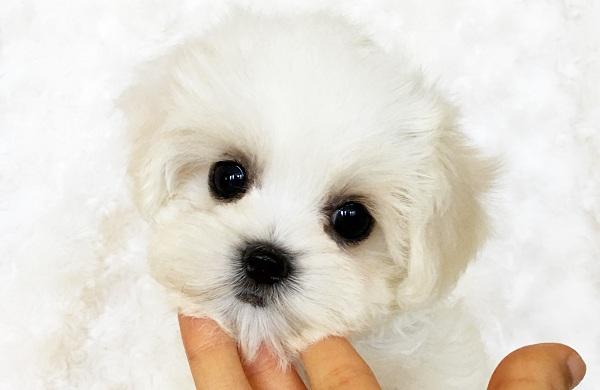 Мальтипу-собака-Описание-особенности-цена-и-уход-за-породой-мальтипу-18