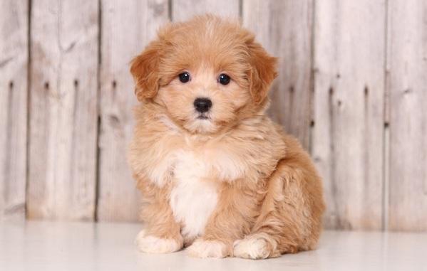 Мальтипу-собака-Описание-особенности-цена-и-уход-за-породой-мальтипу-19