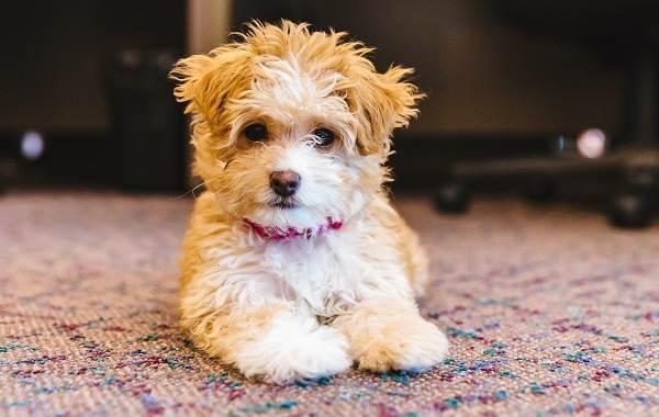 Мальтипу-собака-Описание-особенности-цена-и-уход-за-породой-мальтипу-2