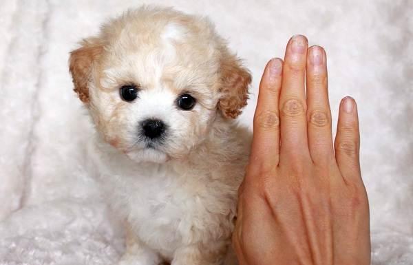 Мальтипу-собака-Описание-особенности-цена-и-уход-за-породой-мальтипу-4