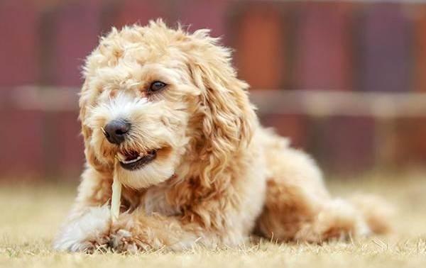 Мальтипу-собака-Описание-особенности-цена-и-уход-за-породой-мальтипу-6