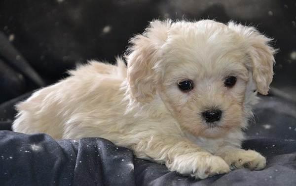 Мальтипу-собака-Описание-особенности-цена-и-уход-за-породой-мальтипу-8