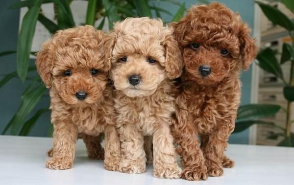 Мальтипу-собака-Описание-особенности-цена-и-уход-за-породой-мальтипу-9