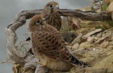 Пустельга птица. Описание, особенности, виды и среда обитания пустельги