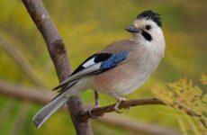 Сойка птица. Описание, особенности, виды и среда обитания птицы сойки