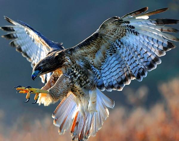 Сокол-птица-Описание-особенности-виды-образ-жизни-и-среда-обитания-сокола-1