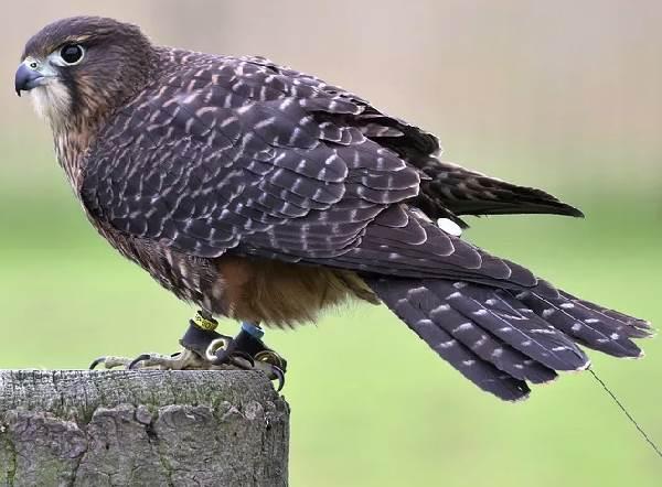 Сокол-птица-Описание-особенности-виды-образ-жизни-и-среда-обитания-сокола-10