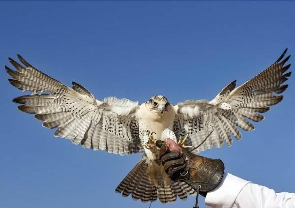 Сокол-птица-Описание-особенности-виды-образ-жизни-и-среда-обитания-сокола-11