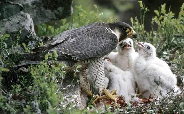 Сокол-птица-Описание-особенности-виды-образ-жизни-и-среда-обитания-сокола-12