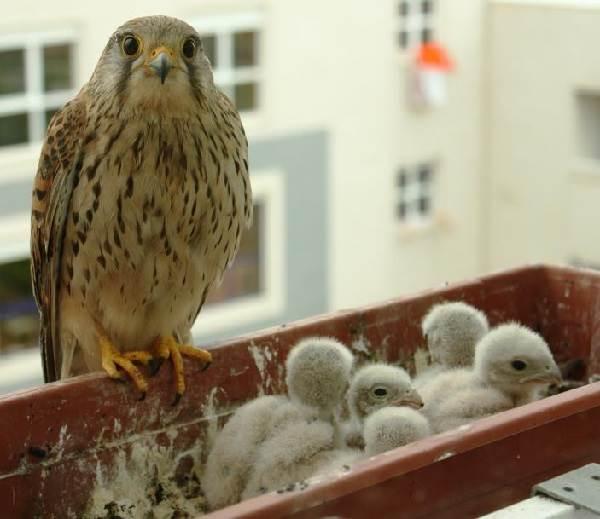 Сокол-птица-Описание-особенности-виды-образ-жизни-и-среда-обитания-сокола-13