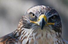 Сокол птица. Описание, особенности, виды, образ жизни и среда обитания сокола