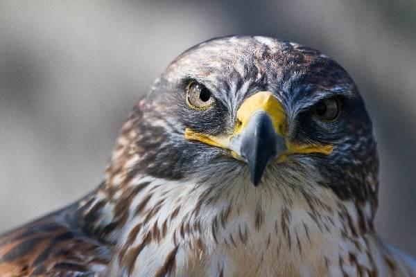 Сокол-птица-Описание-особенности-виды-образ-жизни-и-среда-обитания-сокола-2