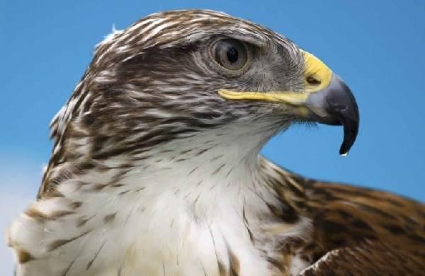 Сокол-птица-Описание-особенности-виды-образ-жизни-и-среда-обитания-сокола-3