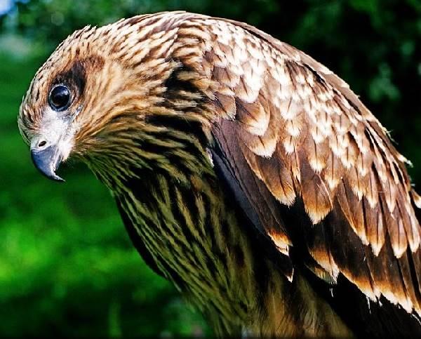 Сокол-птица-Описание-особенности-виды-образ-жизни-и-среда-обитания-сокола-5