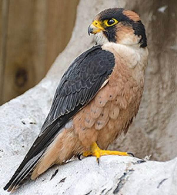 Сокол-птица-Описание-особенности-виды-образ-жизни-и-среда-обитания-сокола-6