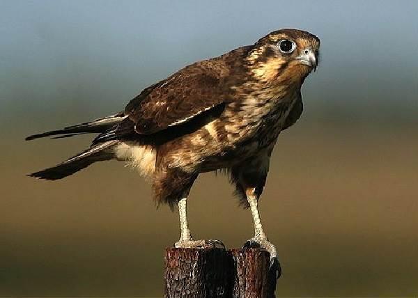 Сокол-птица-Описание-особенности-виды-образ-жизни-и-среда-обитания-сокола-7