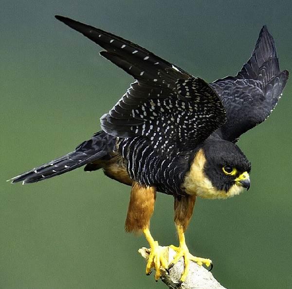 Сокол-птица-Описание-особенности-виды-образ-жизни-и-среда-обитания-сокола-8