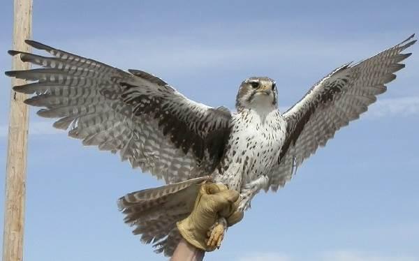 Сокол-птица-Описание-особенности-виды-образ-жизни-и-среда-обитания-сокола-9