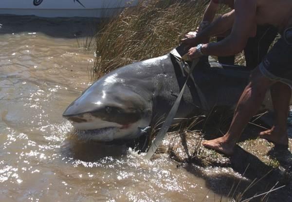 Виды-акул-Описание-названия-и-особенности-видов-акул-12