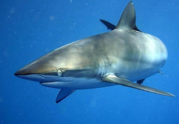 Виды-акул-Описание-названия-и-особенности-видов-акул-16