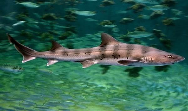 Виды-акул-Описание-названия-и-особенности-видов-акул-19