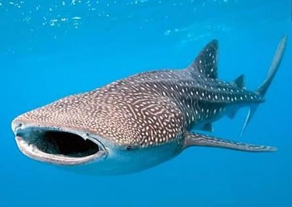 Виды-акул-Описание-названия-и-особенности-видов-акул-2