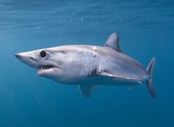 Виды-акул-Описание-названия-и-особенности-видов-акул-34