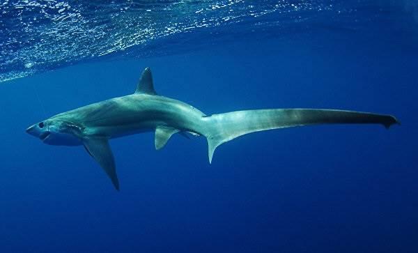 Виды-акул-Описание-названия-и-особенности-видов-акул-35