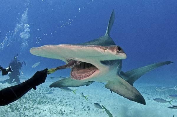 Виды-акул-Описание-названия-и-особенности-видов-акул-36
