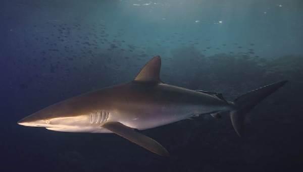 Виды-акул-Описание-названия-и-особенности-видов-акул-37